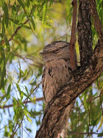 Mossman, ออสเตรเลีย: Tawny Frogmouth
