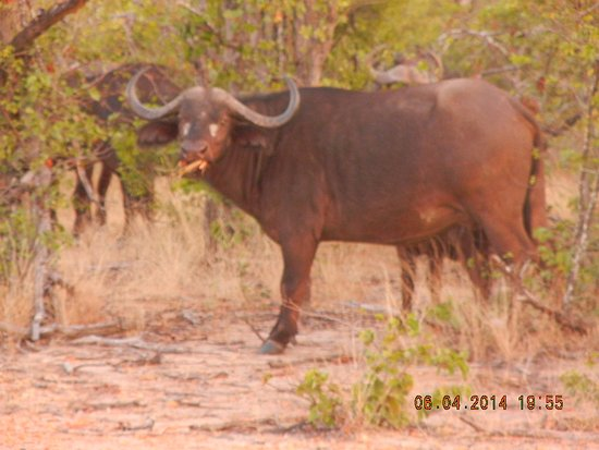 nThambo Tree Camp: Buffalo all over our road; just passing through....large herd.