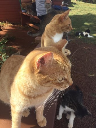 Lanai City, HI: friendly orange kitties!