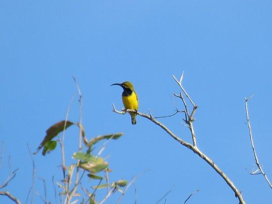 Νησί Λονγκ, Αυστραλία: Olive-backed Sunbird