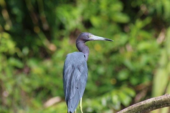 Placencia, Belize: Heron