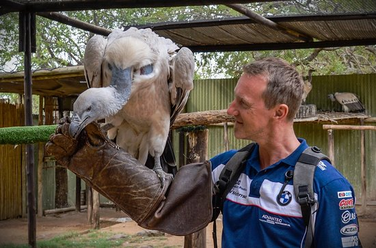 Hoedspruit, South Africa: Feeding a cape vulture.