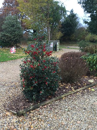 A Lovely Christmas Tree Shaped Holly Bush On The Grounds Picture