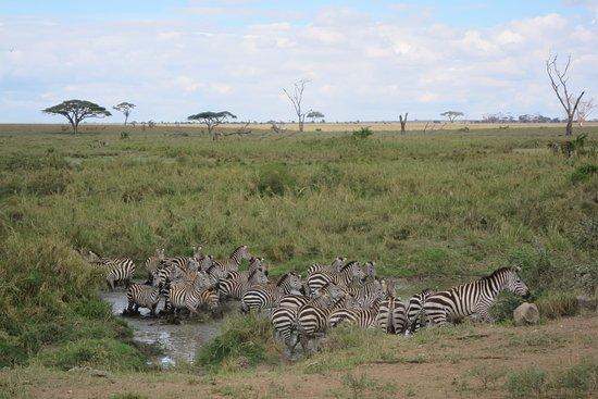Arusha Region, Tanzania: Zebras bei der Tränke