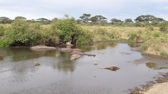 Arusha Region, Tanzania: Flusspferde sind tagsüber eher faul