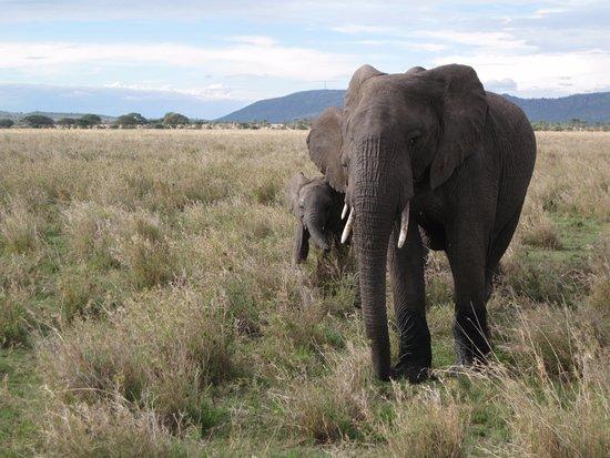 Región de Arusha, Tanzania: Elefantenmutter mit Kleinem