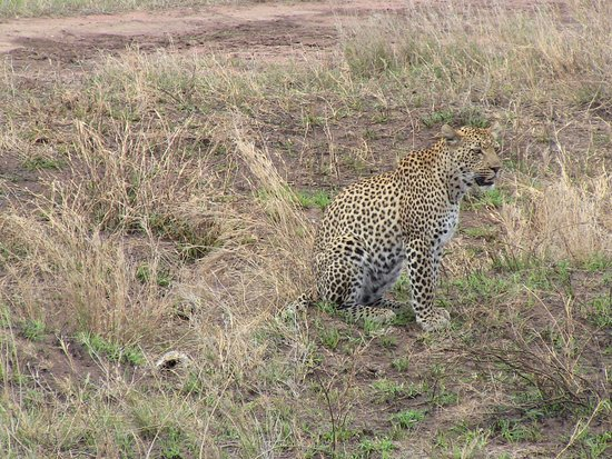 Región de Arusha, Tanzania: Leopard auf Futtersuche