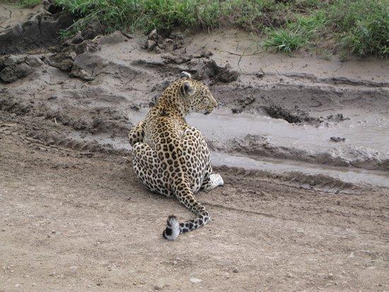 Región de Arusha, Tanzania: junger Leopard