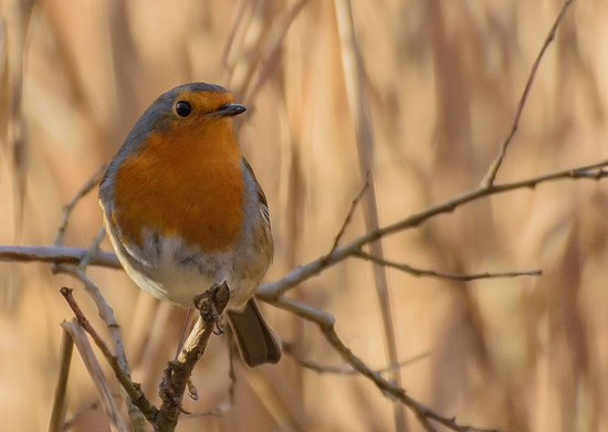 Silverdale, UK: Robin