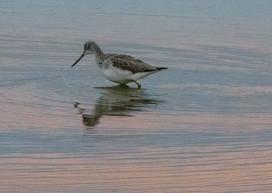 Silverdale, UK: Greenshank