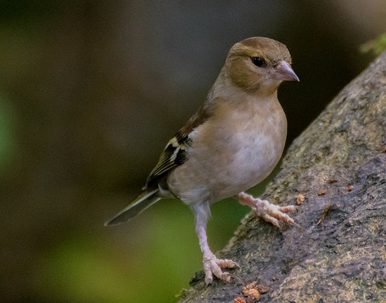 Silverdale, UK: Female Chaffinch