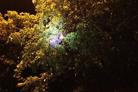 Santa Elena, Costa Rica: Sloth on night tour - munching on some leaves