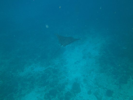Grand Case, St. Maarten: eagle ray