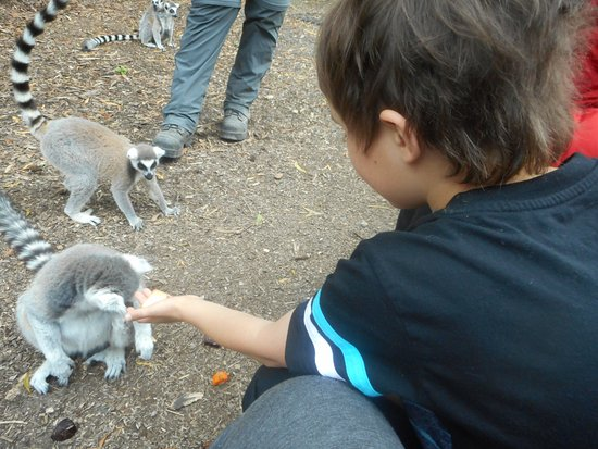 Hamilton, New Zealand: levi feeding one of the lemurs