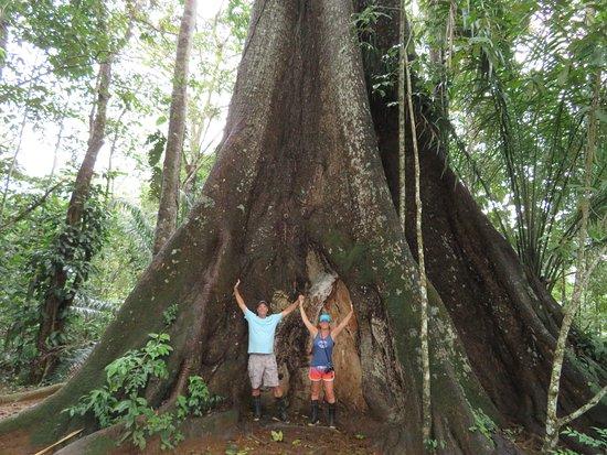 Puerto Jimenez, Costa Rica: 300+ year old Kapok tree