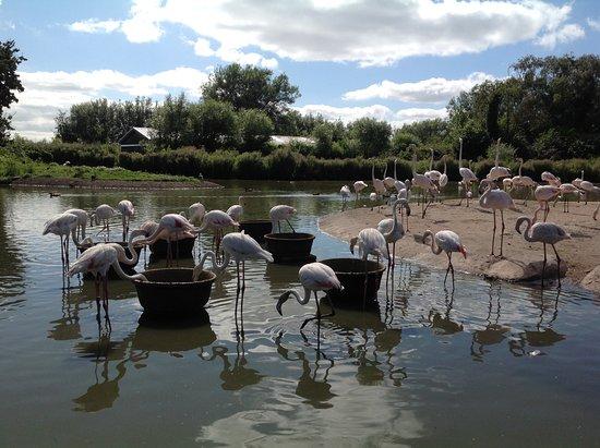 Dursley, UK: Very noisy flamingoes at Slimbridge