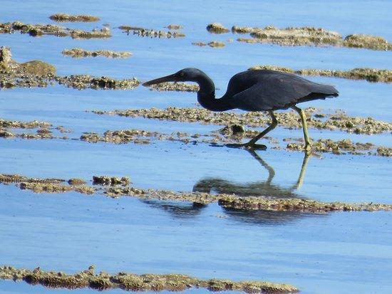 Lady Elliot Island, Australia: Eastern Reef Egret