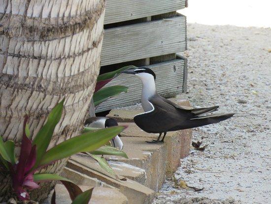 Νησί Lady Elliot, Αυστραλία: Bridled Tern