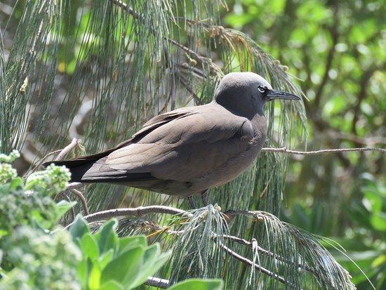 Lady Elliot Island, Australia: Brown Noddy