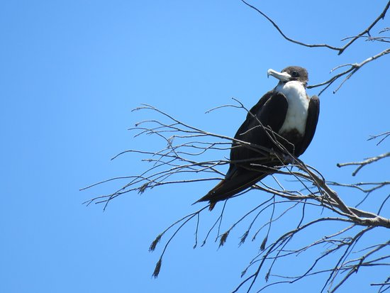 Lady Elliot Island, Australia: Great Frigatebird
