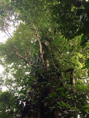 Sarapiqui, Costa Rica: Strangler fig in conservation area