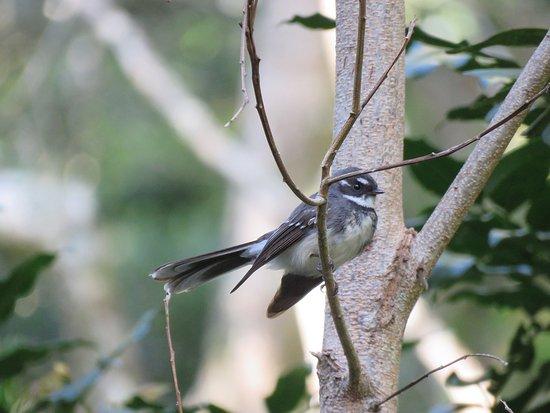 Canungra, ออสเตรเลีย: Gray Fantail