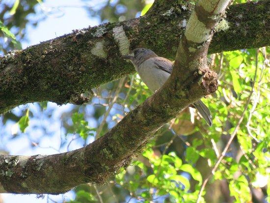 Canungra, ออสเตรเลีย: Grey Shrike-Thrush