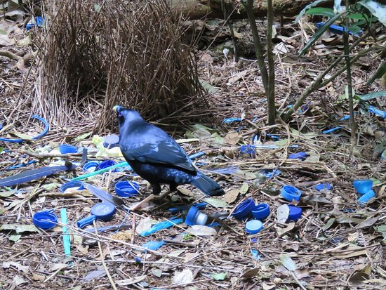 Canungra, ออสเตรเลีย: Satin Bowerbird