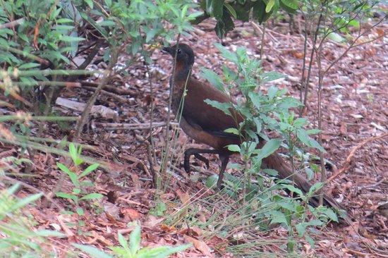 Canungra, Australia: Albert's Lyrebird