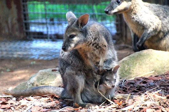 Blacktown, Australia: Wallaby mom and joey
