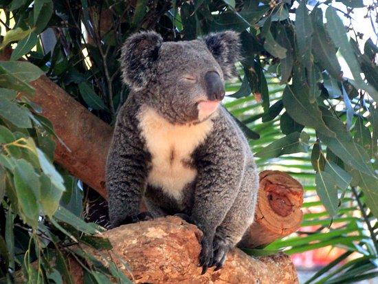 Blacktown, Australia: Koala napping