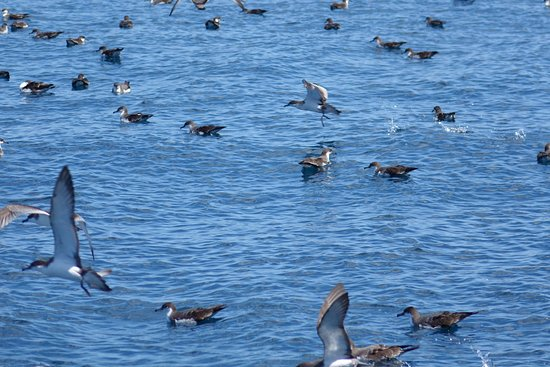 Tutukaka, New Zealand: Bullers Shearwater seabirds