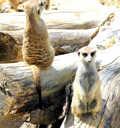 Gunns Plains, أستراليا: Meercats