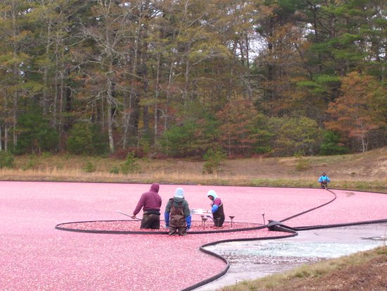 Wareham, MA: Workers rounding up the cranberries!
