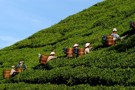 บันดุง, อินโดนีเซีย: Bandung Highland / tea plantation