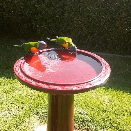 Merimbula, Avustralya: The rainbow lorikeets are fed twice a day.