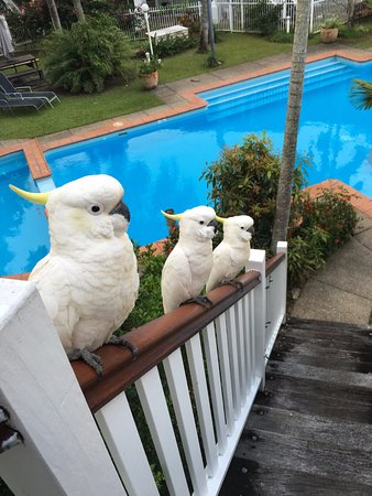 Cockatoos lined up for their afternoon snacks