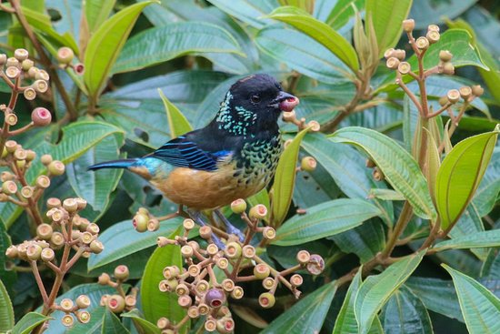 Santa Elena, Costa Rica: Spangled Cheeked Tanager