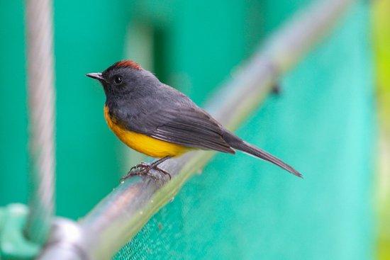 Santa Elena, Costa Rica: Slate Throated Redstart