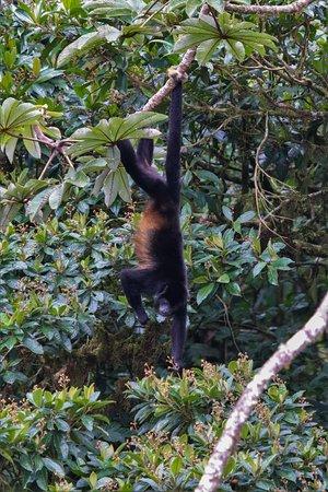 Santa Elena, Costa Rica: Howler Monkey