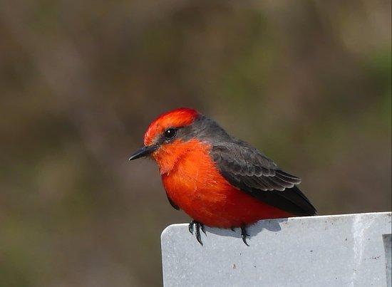 St. Marks National Wildlife Refuge: Vermilion Flycatcher