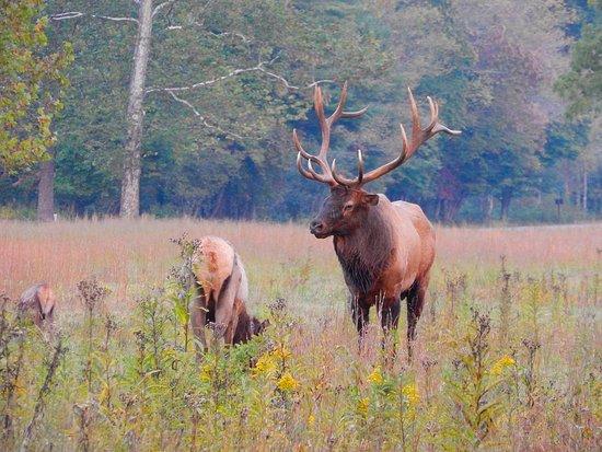 Waynesville, NC: Bull with harem.