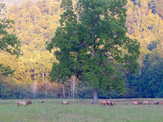Waynesville, NC: Bull with large harem in meadow.