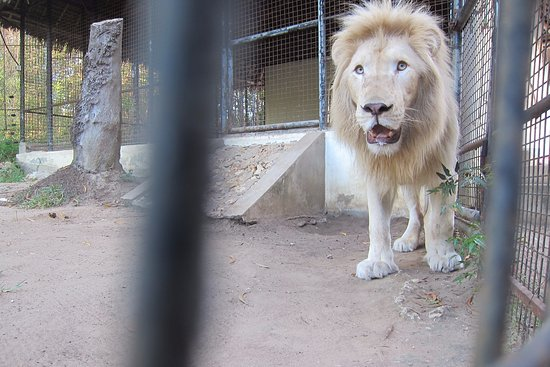 Aslan, the amazing white lion - Picture of Cheetah's Rock, Zanzibar