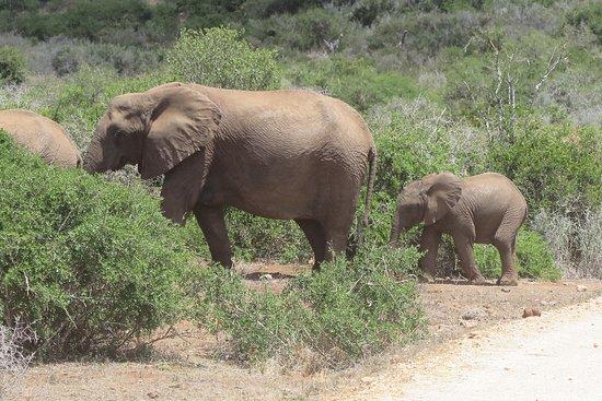 Addo Elephant National Park, Güney Afrika: Grote familie aanwezig.