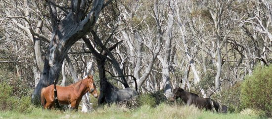 Thredbo Village, Australien: Brumbies!