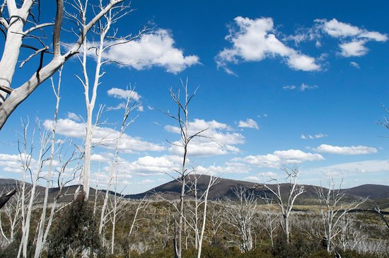 Thredbo Village, Australien: Ghost Gums