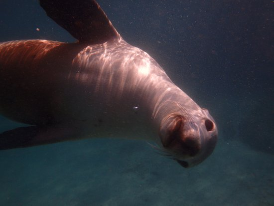 Port Lincoln, Australie : Playing with Sea Lions