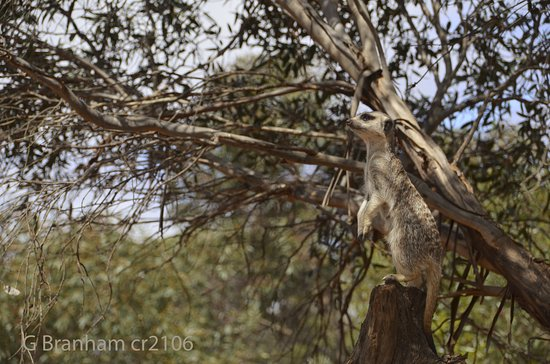 ออสเตรเลียใต้, ออสเตรเลีย: A Voguing meerkat