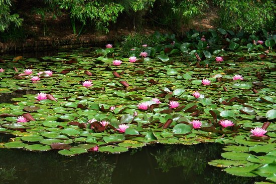 Leura, Australia: Stunning Water Lilies in One of the Resort's Pools